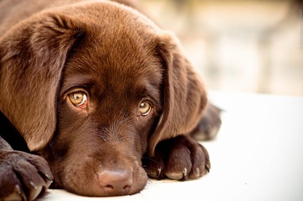 собака глаза