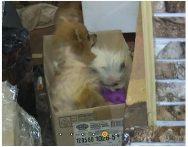 шпицы мурманск коробка